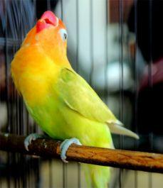 membagikan tips seputar perawatan burung berkicau